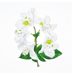 white rhododendron twig vintage vector image
