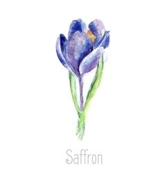Watercolor saffron herb vector image vector image