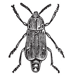 Female necrodes littoralis vintage vector