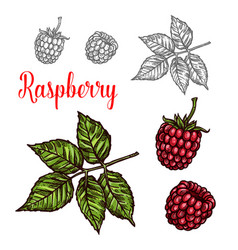 Raspberry fruit sketch of red berry and green leaf vector