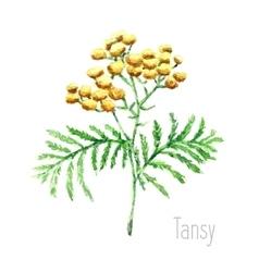 Watercolor tansy herb vector