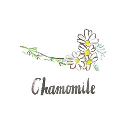watercolor white chamomile vector image vector image