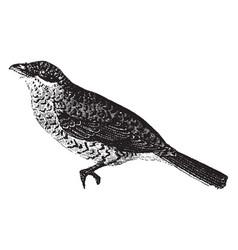 Great grey shrike vintage vector