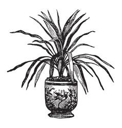 dracaena australis vintage vector image