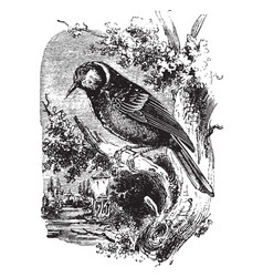 Great tit vintage vector
