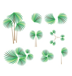 Isometric of Lady Palm Tree on White Background vector image