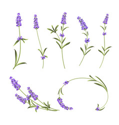 Provence flowers collection set of lavender vector