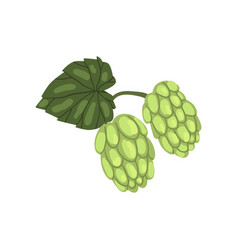 Green hops humulus lupulus plant element for vector