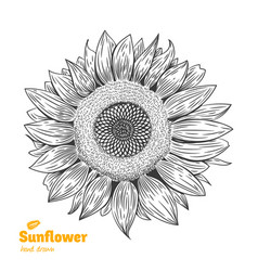 Sunflower hand drawn vector