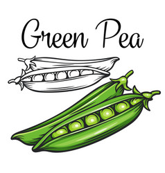Green pea drawing icon vector