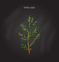 white cedar tree vector image