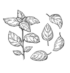 Basil drawing set Isolated plant with vector