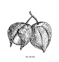 hand drawn of cape gooseberry on white background vector image