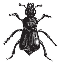 Necrophorus germanicus vintage vector