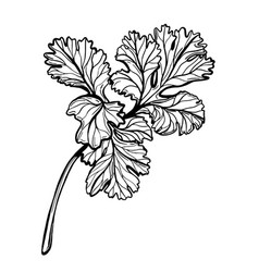 A sprig parsley parsley is a herb vector