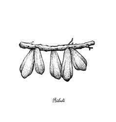 hand drawn of bilimbi fruits on white background vector image