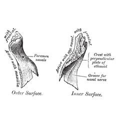 Inner surface of nasal bone vintage vector