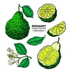 Bergamot drawing isolated vintage vector