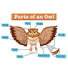 Diagram showing different part of owl vector image