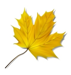 Yellow maple leaf on white background vector image