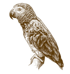 Engraving drawing of african grey parrot vector