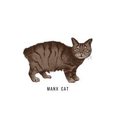 hand drawn manx cat vector image