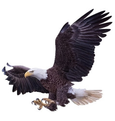 Bald eagle swoop landing attack hand draw white vector