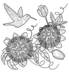 hummingbird and passiflora coloring page vector image
