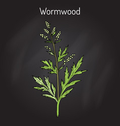 Mugwort or common wormwood artemisia vulgaris vector