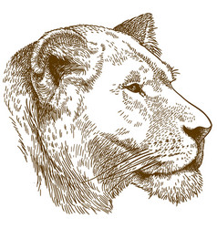 Engraving of lioness head vector