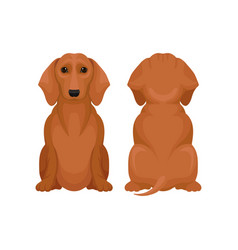 Front and back view of sitting dachshund dog vector
