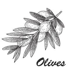 black ink hand drawn olive twig vector image vector image