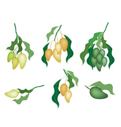 Set of Mango Fruits on White Background Background vector image vector image