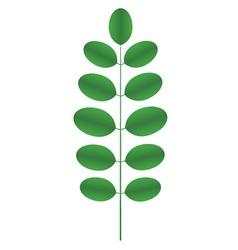 Acacia twig vector
