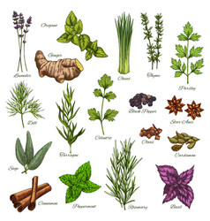 Isolated icons of natural spices and herbs vector
