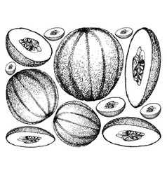 Hand drawn of cantaloupe fruit on white background vector