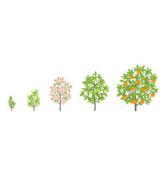 Mandarin tree growth stages vector