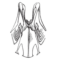 Sternum of a robin vintage vector