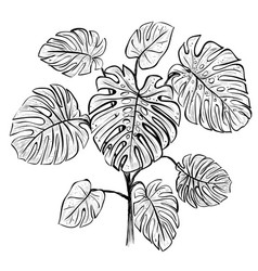 tropical palm branch monstera vector image