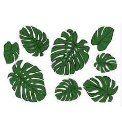 Monstera leaves of a tropical plant sketch vector