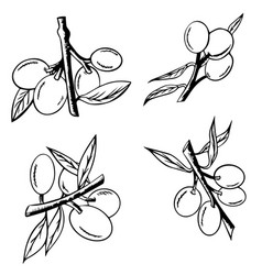 hand drawn branch olives olive isolated on vector image