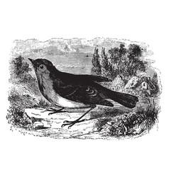 European robin redbreast vintage vector