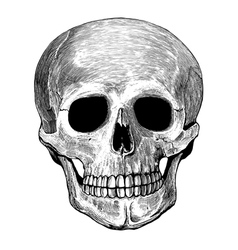 Human skull in engraved style vector image vector image