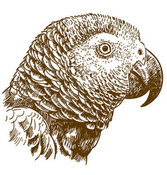 Engraving drawing of african grey parrot head vector