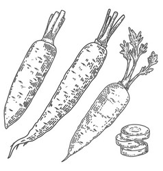 carrots in engraving style design element vector image