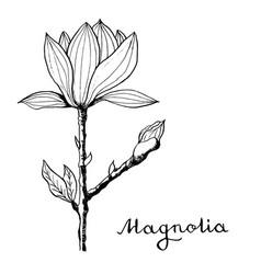 Magnolia flower botany vector