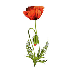 Wildflowers red poppies flowers with bud vector
