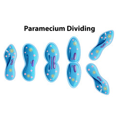 Paramecium dividing bacteria diagram vector