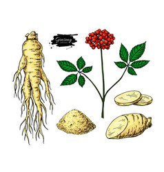 Ginseng drawing medical plant sketch vector