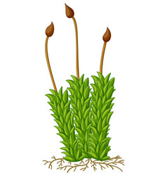 moss plant with roots vector image